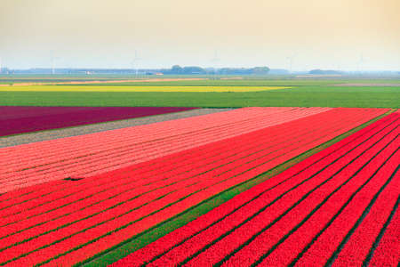 Beautiful colored tulip fields in the Netherlands in spring