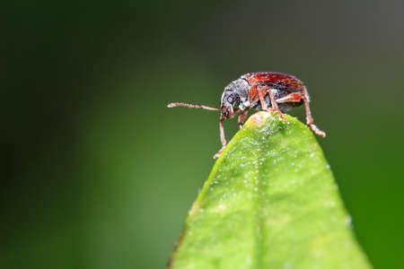 pres: Weevil in the genus Phyllobius pres. The brown leaf weevil Phyllobius oblongus on a leaf