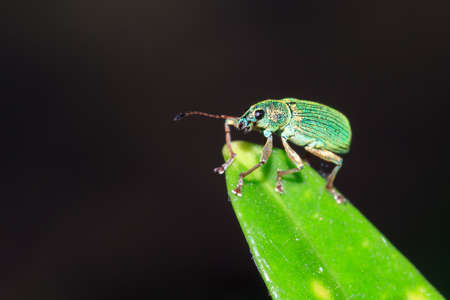 phyllobius: Nettle Weevil Phyllobius pomaceus on a green leaf in spring in the garden against a dark background Stock Photo
