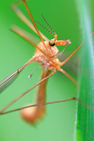 tipulidae: Beautiful crane fly Tipula oleracea in the garden in the Netherlands Stock Photo