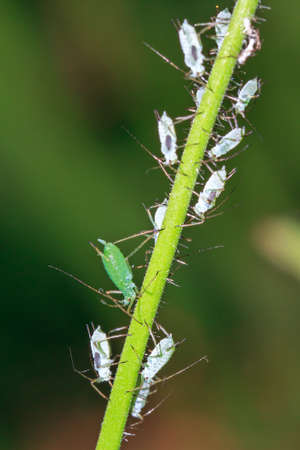 piojos: Pisum Pea áfidos Acyrthosiphon o pulgones, en la voz de una planta en el jardín