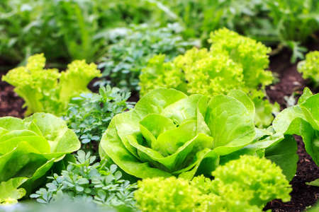 spring green: Beautiful vibrant green vegetable garden in spring with fresh lettuce