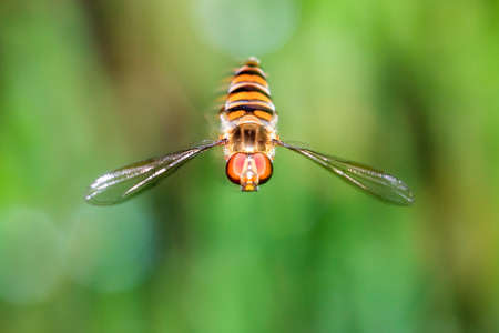 syrphid fly: Beautiful Hoverfly or flower fly, sweat bee or syrphid fly in mid-air against a green background