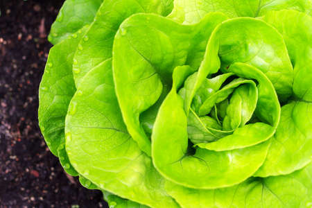 lactuca: Beautiful close up of fresh and green home-grown Butterhead lettuce Lactuca sativa in the garden