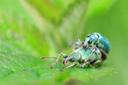 weevils: Nettle Weevils Phyllobius pomaceus getting it on in spring in the garden