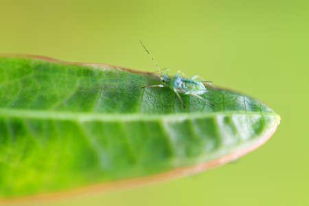 piojos: Individual peque�o guisante �fido Acyrthosiphon pisum, o pulgones, en una hoja en el jard�n