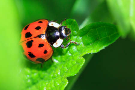 coccinella: Beautiful ladybug Coccinella magnifica in the garden in spring