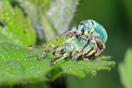sexual reproduction: Nettle Weevils Phyllobius pomaceus getting it on in spring in the garden