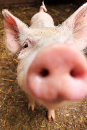 Funny wide angle close up portrait of a cute pig sus scrofa and snout