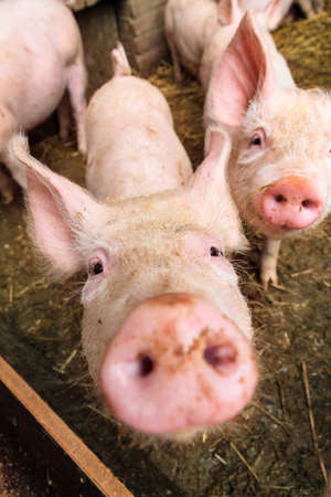domestication: Funny wide angle close up portrait of a cute pig sus scrofa and snout