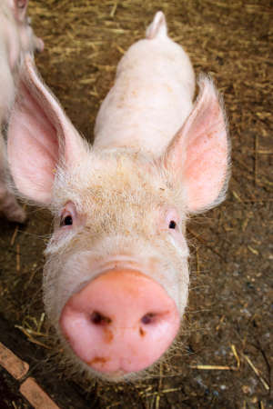 sus: Funny wide angle close up portrait of a cute pig sus scrofa and snout