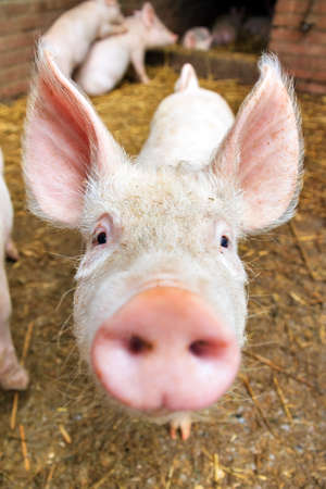 snout: Funny wide angle close up portrait of a cute pig sus scrofa and snout