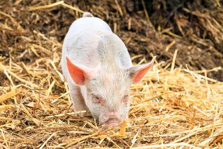 scrofa: Cute baby piglet sus scrofa in straw