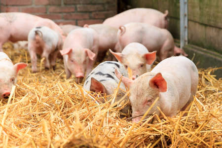 domestication: Cute baby piglets in straw sus scrofa