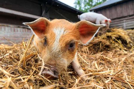 domestication: Cute baby piglet sus scrofa in straw