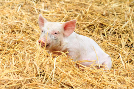 domestication: Cute baby piglet sus scrofa in straw