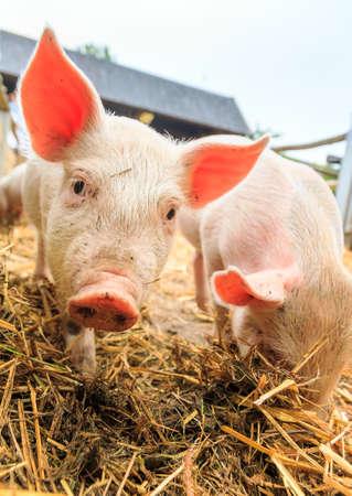 scrofa: Cute baby piglets in straw sus scrofa