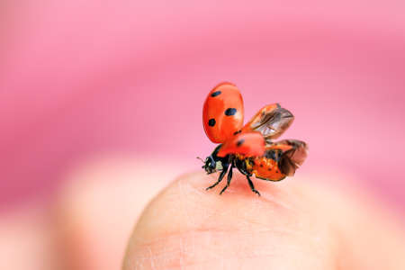 coccinella: Beautiful ladybug Coccinella magnifica taking flight against a pink background