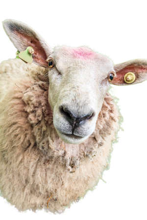 ovis: Isolated portrait of a curious fluffy sheep Ovis aries in the Netherlands