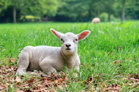 ovis: Close up portrait of a beautiful lamb Ovis aries in spring in the Netherlands