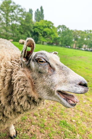 bleating: Close up portrait of a crazy bleating sheep Ovis aries in the Netherlands