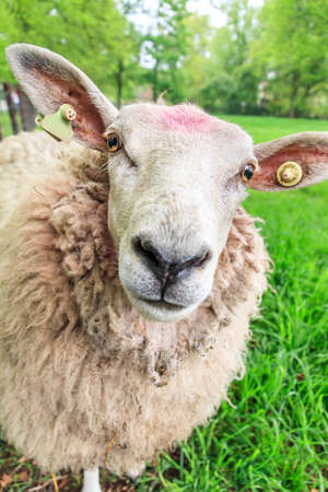 ovis: Close up portrait of a fluffy curious sheep Ovis aries in the Netherlands