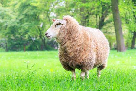 ovis: Beautiful sheep Ovis aries standing strong in a green meadow in spring