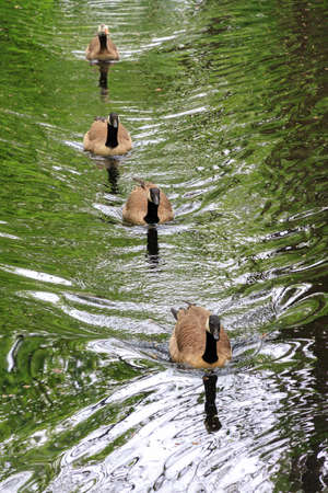 canadian geese: A family of Canadian geese Branta canadensis swimming in parkland in the Netherlands Clingendael