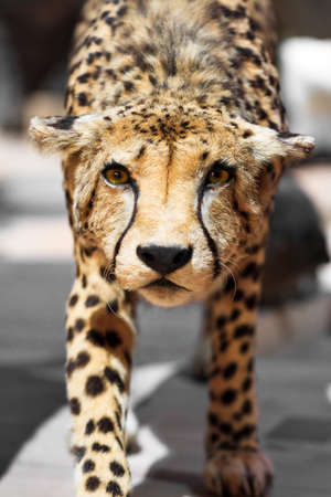 jubatus: The cheetah Acinonyx jubatus close up portrait Stock Photo