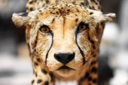 acinonyx: The cheetah Acinonyx jubatus close up portrait Stock Photo