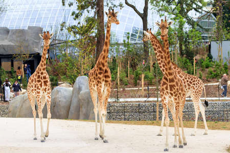 renovated: People look at the Giraffes in the renovated Paris Zoo in Paris, France, on April 13, 2014 Editorial