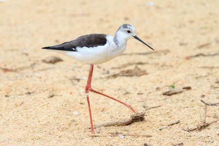 black winged stilt: The black-winged stilt, common stilt, or pied stilt (Himantopus himantopus)