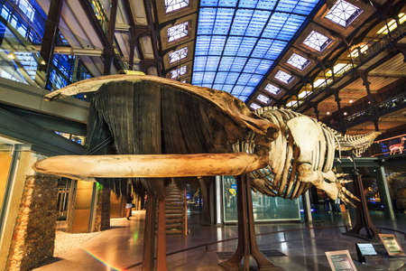 natural history museum: Skeleton of the southern right whale (Eubalaena australis) in The French National Museum of Natural History (Museum national dhistoire naturelle) in Paris, France, on April 12, 2014 Editorial