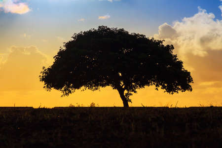 lonesome: Silhouette of a lonesome tree at sunset in San Juan, Puerto Rico