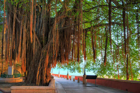 aerial roots: Beautiful tree with aerial roots at the boardwalk in San Juan, Puerto Rico