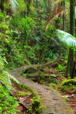and hiking path: Beautiful jungle path through the jungle of the El Yunque national forest in Puerto Rico