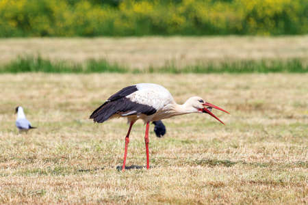 The white stork (Ciconia ciconia) devouring a mouse in a field in spring in the Netherlands Stock Photo