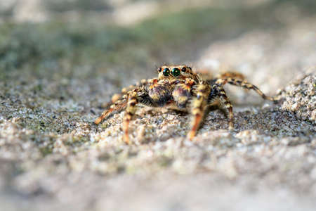 salticidae: Macro close-up of a jumping spider from the Salticidae family Stock Photo