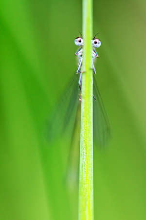 Funny macro image of a damselfly looking around a grass halm with googly eyes