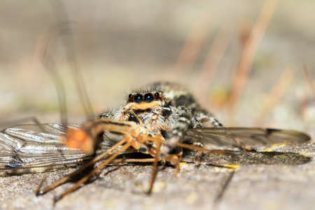 salticidae: Macro close-up of a jumping spider from the Salticidae family with prey