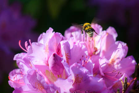 A Bombus terrestris (the buff-tailed bumblebee or large earth bumblebee) flies away from a pink Azalea (Rhododendron) flower in spring in the Netherlands