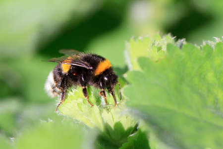 Beautiful vibrant macro close-up of a Bombus terrestris (the buff-tailed bumblebee or large earth bumblebee) on a fresh green leaf in spring in the Netherlands Stock Photo
