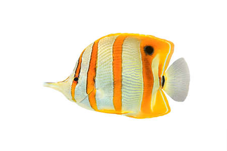 copperband butterflyfish: Copperband butterflyfish (Chelmon rostratus), commonly known as beaked coral fish, isolated on a white background