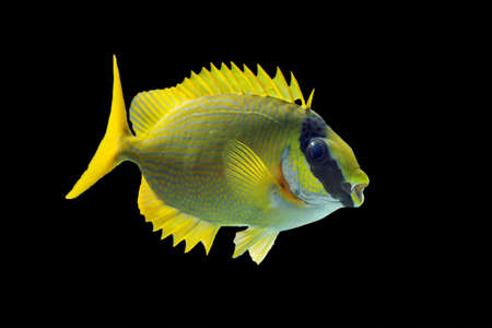 The masked spinefoot (Siganus puellus), also known as decorated rabbitfish or masked rabbitfish, isolated on a black background