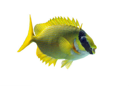 The masked spinefoot (Siganus puellus), also known as decorated rabbitfish or masked rabbitfish, isolated on a white background Stock Photo
