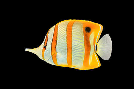 copperband butterflyfish: Copperband butterflyfish (Chelmon rostratus), commonly known as beaked coral fish, isolated on a black background Stock Photo