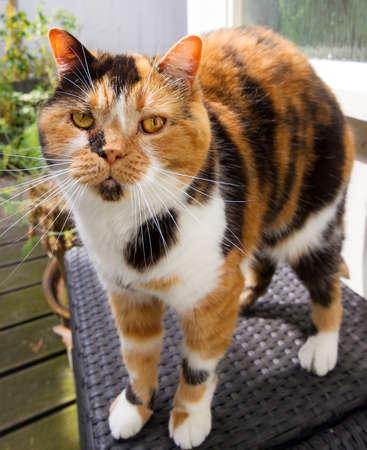 poquito: Cierre de retrato de un muy divertido, pero poco poco de obesidad y gruñón mezclado Selkirk Rex y raza británica de pelo corto tortuga felina Foto de archivo