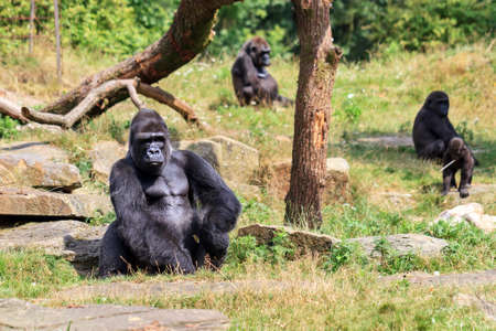 Group of western lowland gorillas (Gorilla gorilla gorilla) with an silverback alpha male Stock Photo