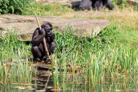 Western lowland gorilla (Gorilla gorilla gorilla) using a stick as a tool at the shore of a pond in the afternoon