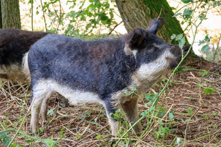 holland: Beautiful hairy Swallow-bellied Mangalica pig (Sus Scrofa), a Hungarian breed of domestic pig with a thick and woolly coat, in the forest in the Netherlands. Stock Photo